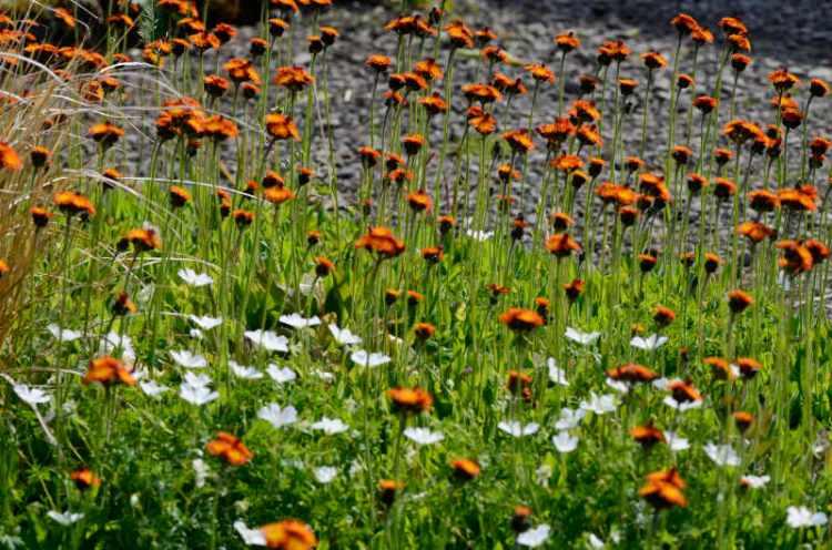 hawkweed and white flowers