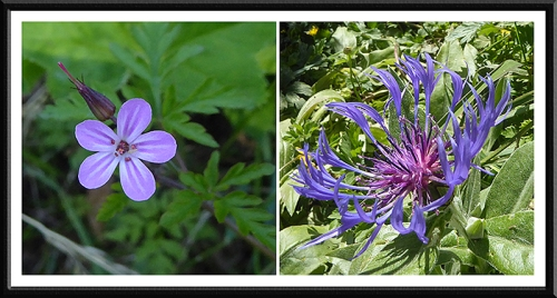 herb robert and cornflower