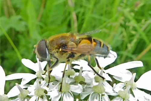 hoverfly on umbellifer