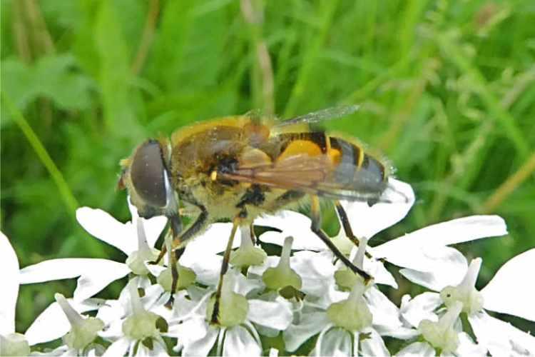 hoverfly on umbellifer