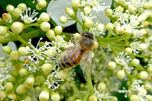 hydrangea with bee