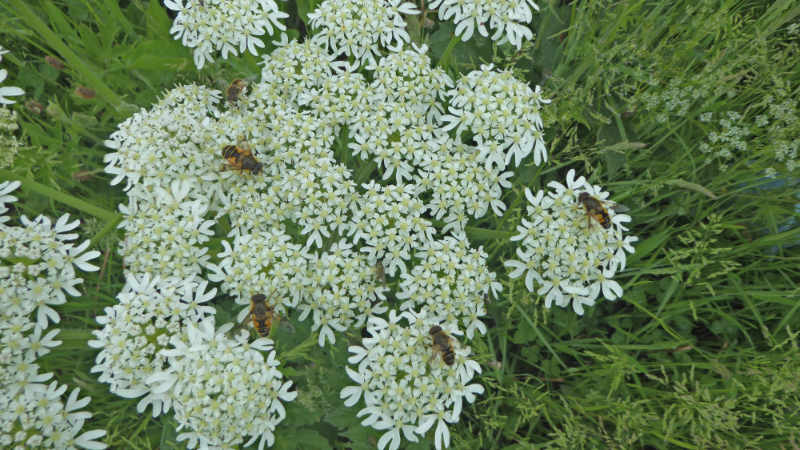 insects on umbellifer