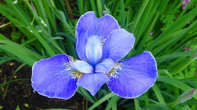iris with lining