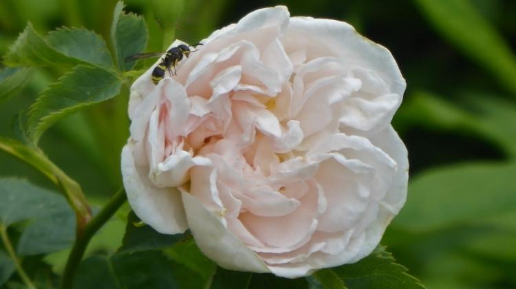 jacobite rose
