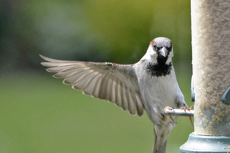landing sparrow