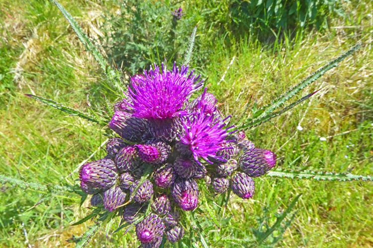 march thistle