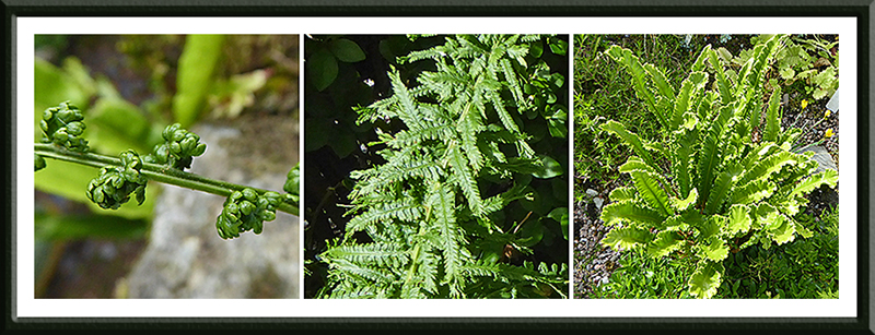 Mike's garden ferns