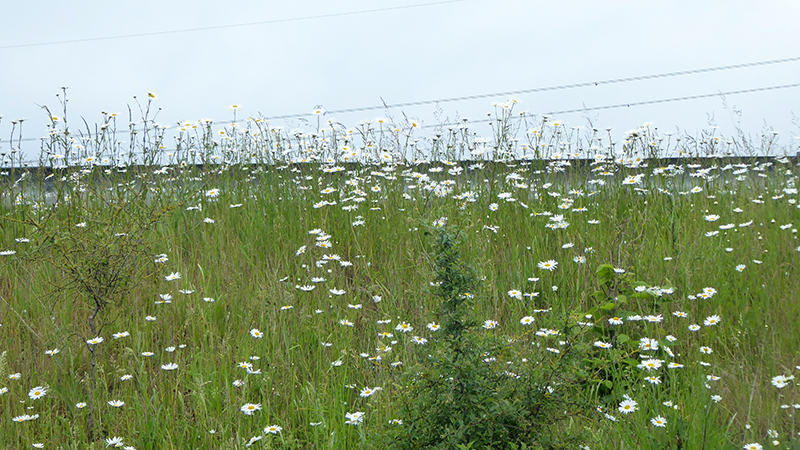 motorway daisies