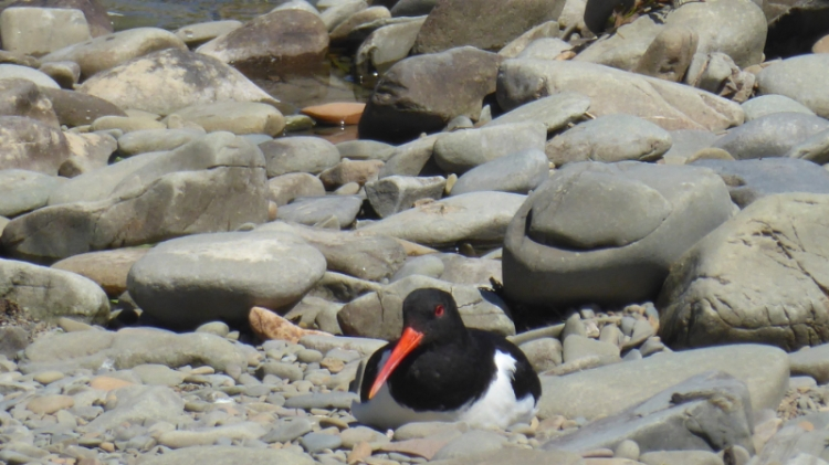 oyster catcher adult