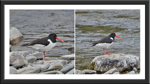 oyster catcher parents