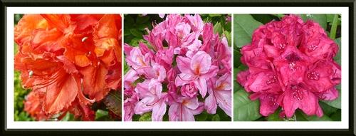 azaleas and rhodie