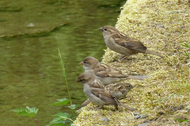 sparrows on dam