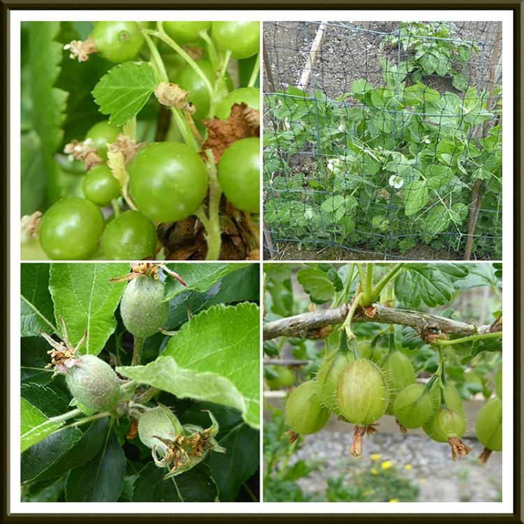 apple, blackcurrant, gooseberry and peas