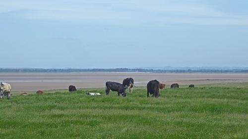 solway cattle