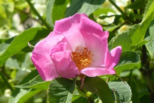 rosa complicata