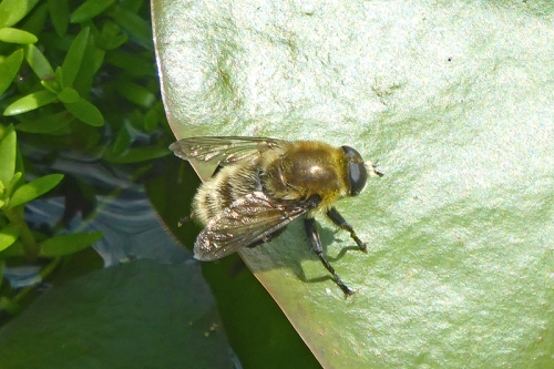 bee in pond