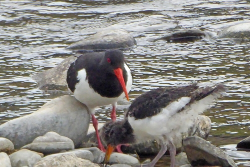 oyster catcher with young