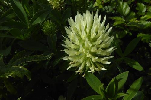 giant clover