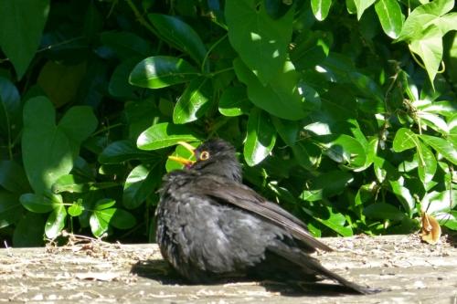panting blackbird