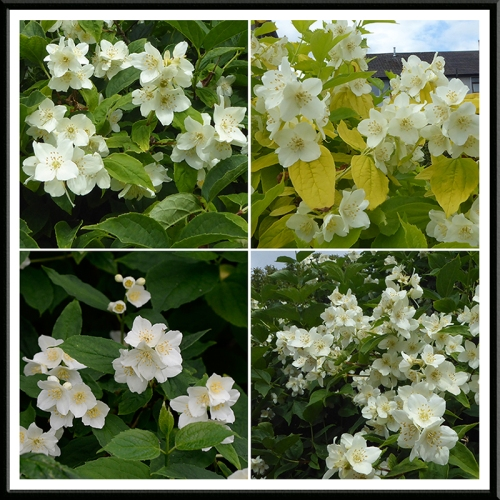 philadelphus panel