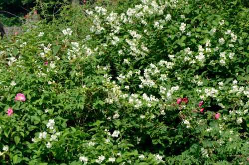 philadelphus with roses