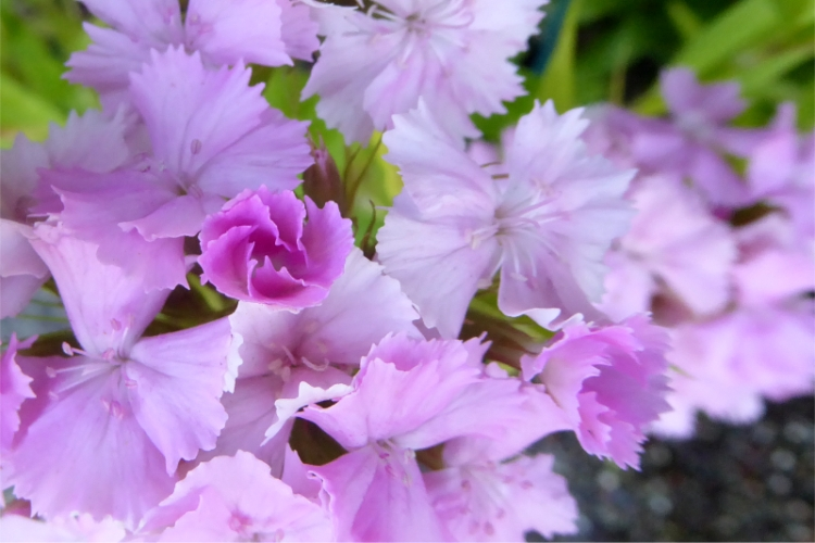 pink sweet william