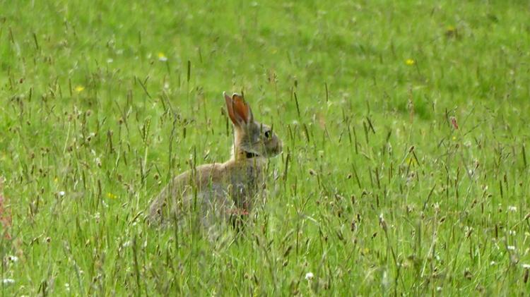 rabbit in grasses