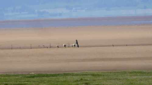 sheep on solway sands