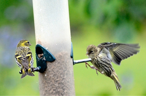 siskin at feeder