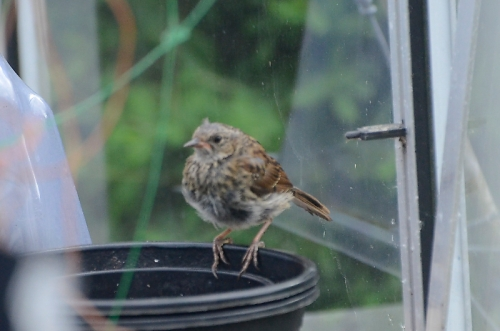 sparrow in greenhouse