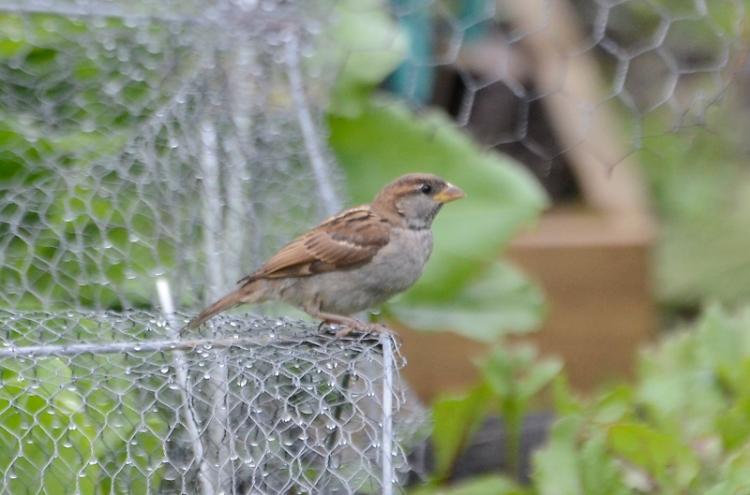 sparrow in veg garden