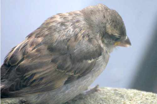 sparrow on windowsill