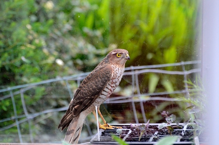 sparrowhawk in greenhouse (2)