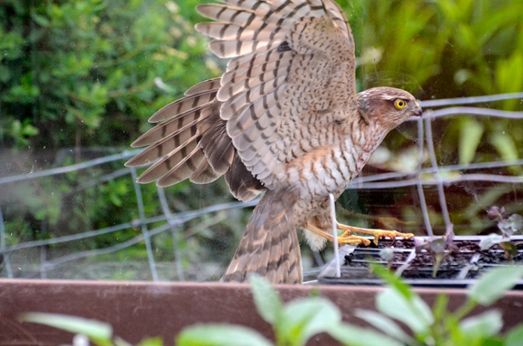 sparrowhawk in greenhouse
