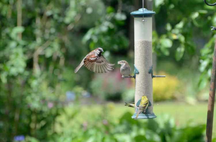sparrows at feeder