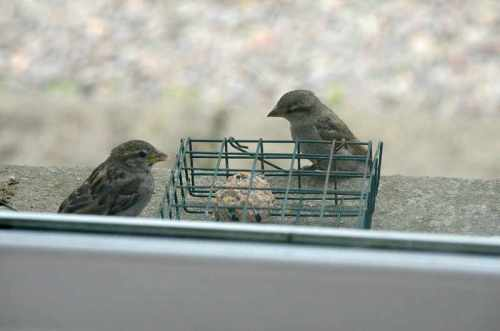 sparrows on windowsill