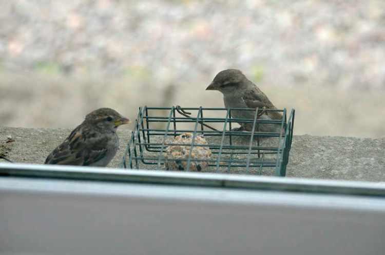 sparrows on windowsill