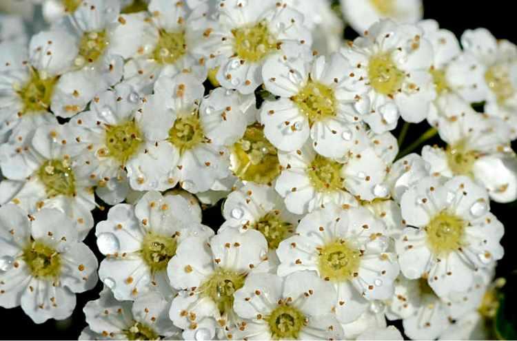 spirea bridal wreath