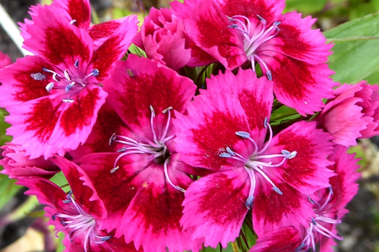 sweet william