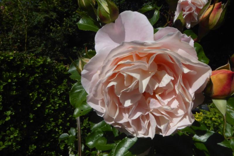 the wren rose older