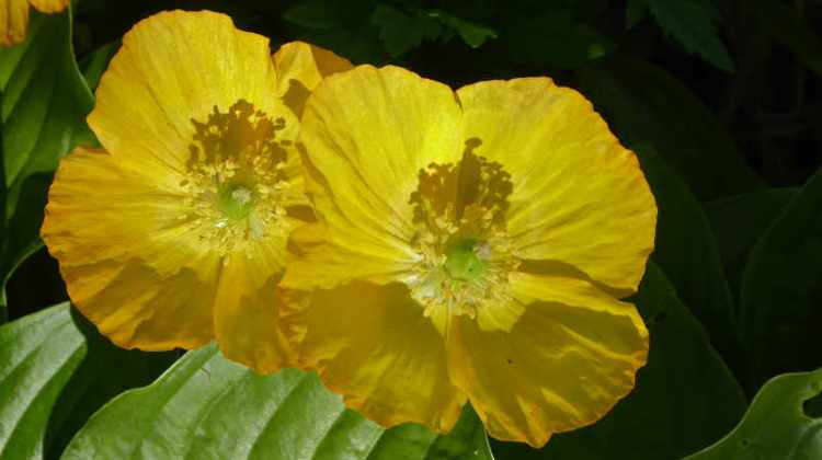 Welsh poppies
