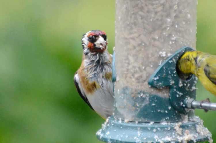 wet goldfinch