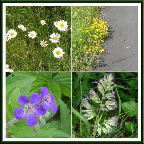 wild flowers near langholm