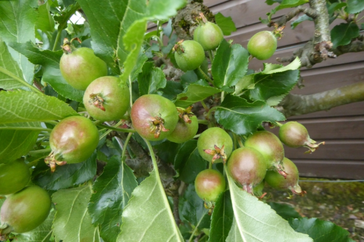 young apples