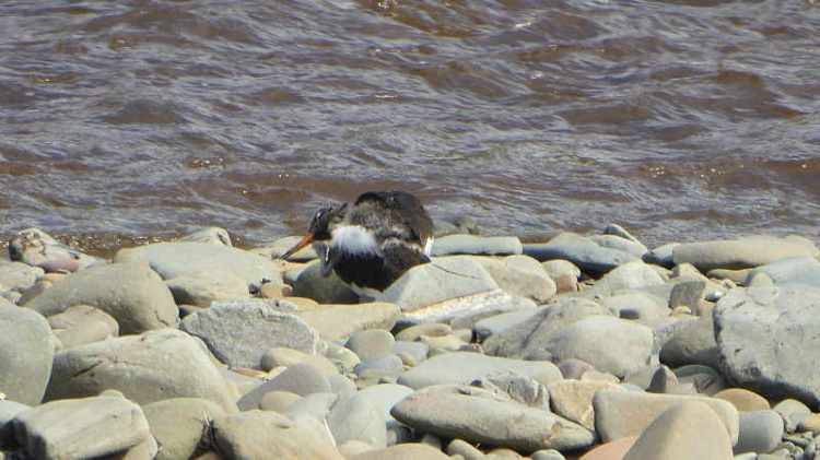 young oyster catcher