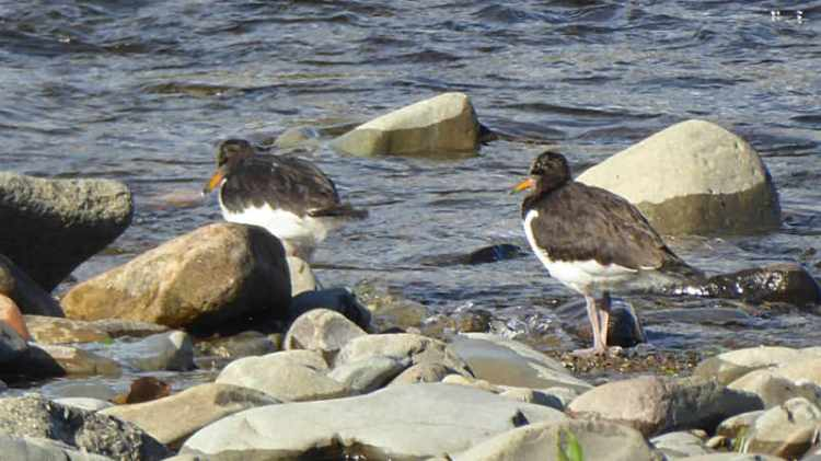 young oyster catchers