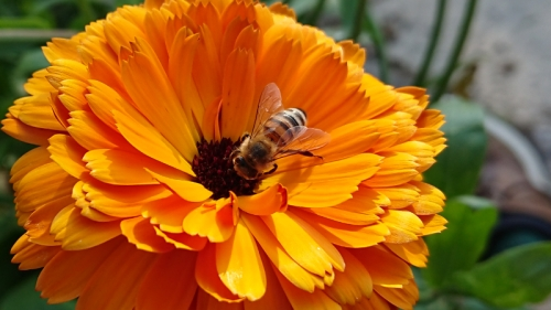 Al's bee on calendula