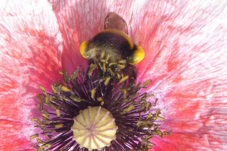 another bee on poppy
