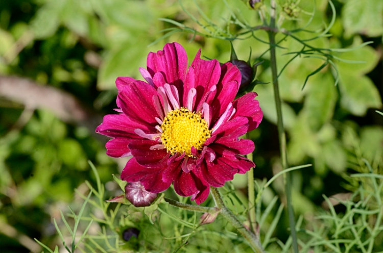 another red cosmos