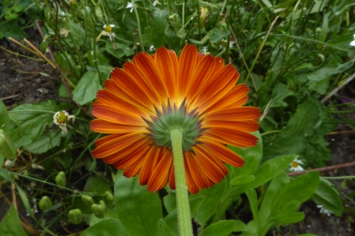 back of calendula